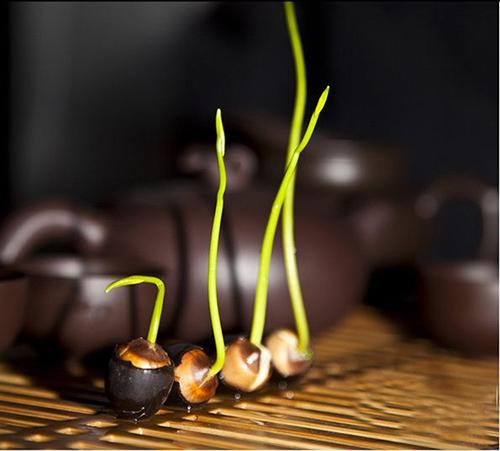 hướng dẫn trồng sen nhật mini tại nhà